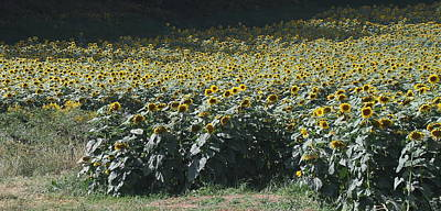 Sunflower Photograph - Sunflower Fields 2 by Cathy Lindsey
