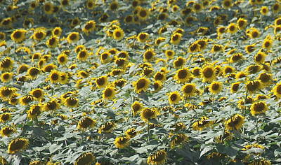 Yellow Sunflower Photograph - Sunflower Fields 3 by Cathy Lindsey