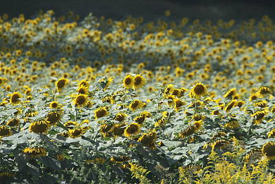 Asteraceae Photograph - Sunflower Fields 8 by Cathy Lindsey