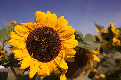 Photograph - Sunflower Fields by Miguel Winterpacht