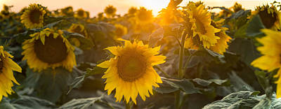 Sunflowers Royalty-Free and Rights-Managed Images - Sunflower Flare by Steve Gadomski