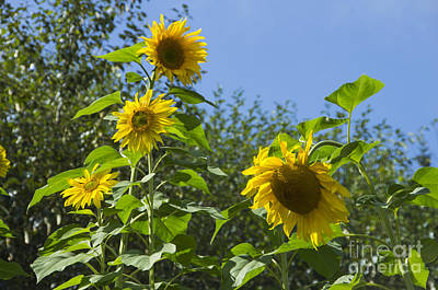 Photograph - Sunflower Friends by Louise Magno