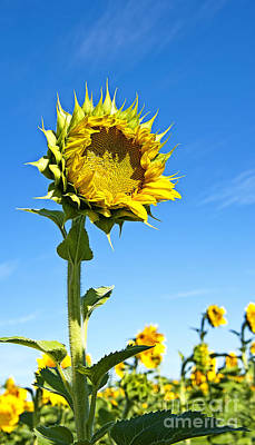 Photograph - Sunflower From Mississinewa  by Lee Craig