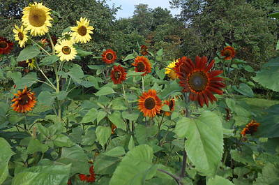 Photograph - Sunflower Garden Blooming by Diannah Lynch