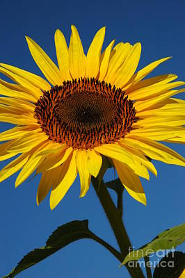 Photograph - Sunflower Glory by Christiane Hellner-OBrien