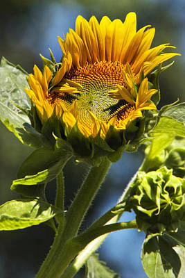 Photograph - Sunflower Glory by Christina Rollo