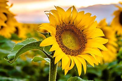 Sunflower Glory Original