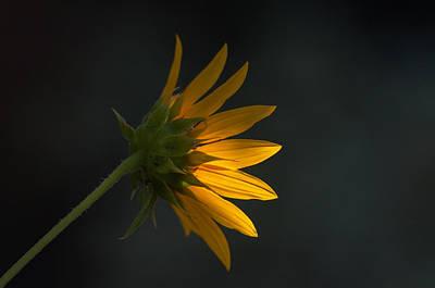 Photograph - Sunflower Glow by Tam Ryan
