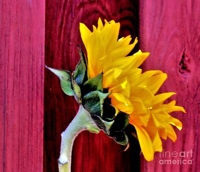 Histogram Photograph - Sunflower Glowing by Marsha Heiken