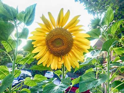 Photograph - Sunflower Greetings by Kristina Deane