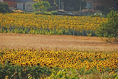 Photograph - Sunflower Heaven by Ankya Klay