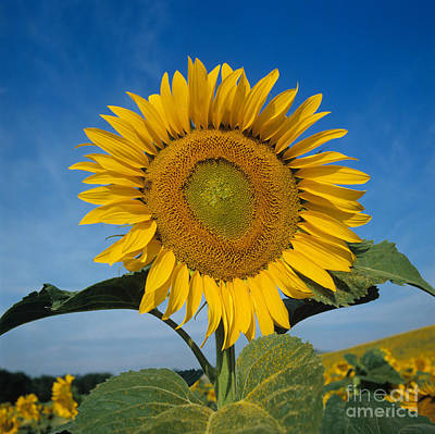 Photograph - Sunflower Helianthus Annuus by Nigel Cattlin