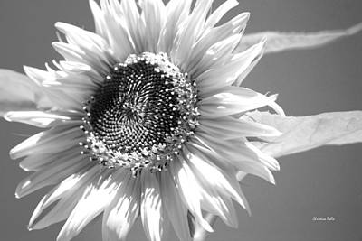 Photograph - Sunflower High Key Bw by Christina Rollo