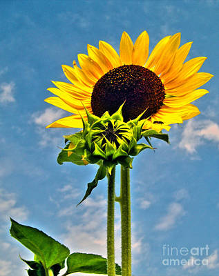 Photograph - Sunflower Holding Head Up High 2 by Nina Ficur Feenan