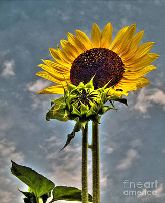 Photograph - Sunflower Holding Head Up High by Nina Ficur Feenan