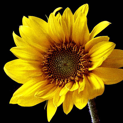 Photograph - Sunflower I by Michael Moschogianis