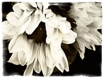 Photograph - Sunflower In Black And White 1 by Tanya Jacobson-Smith