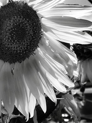 Photograph - Sunflower In Black And White by Amy Williams