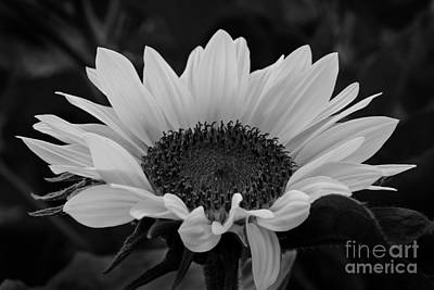Photograph - Sunflower In Black And White by Inge Riis McDonald