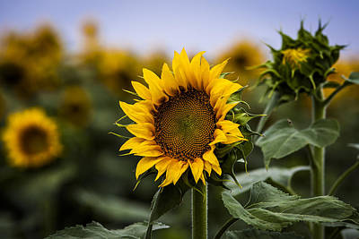Photograph - Sunflower In Focus by Amber Kresge