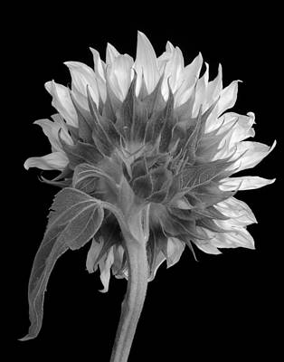 Photograph - Sunflower In Monochrome by David and Carol Kelly