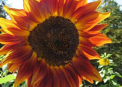 Photograph - Sunflower In Red by Lucinda VanVleck