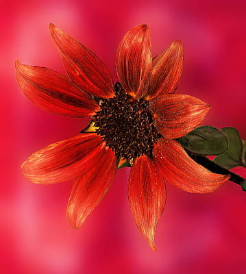 Sunflower In Red Art Print by Viktor Savchenko