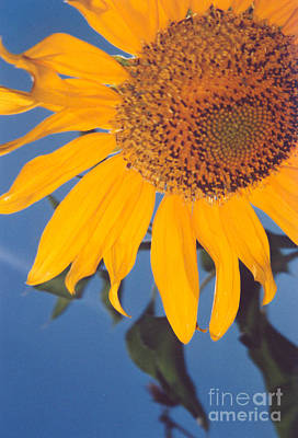 Sunflower In The Corner Art Print by Heather Kirk
