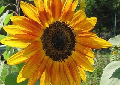 Photograph - Sunflower In The Garden by Lucinda VanVleck