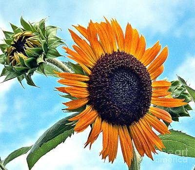 Photograph - Sunflower In The Sky by Annette Allman