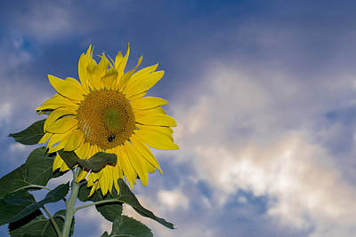Zen Garden - Sunflower In The Sky by Anthony Thomas