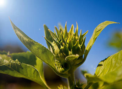 Food And Flowers Still Life Rights Managed Images - Sunflower in the Sky Royalty-Free Image by David Kittrell