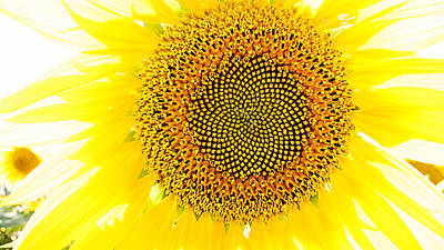 Photograph - Sunflower In The Summer Sun by Weston Westmoreland