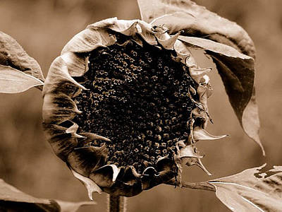 Wall Art - Photograph - Sunflower by James Chesnick