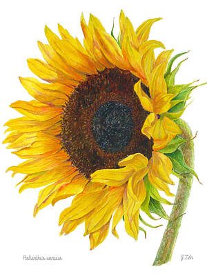 Painting - Sunflower - Helianthus Annuus by Janet  Zeh