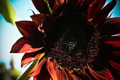 Sunflower Art Print by Joel Loftus