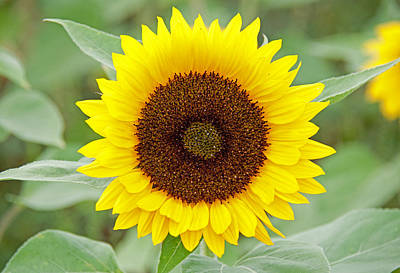 Photograph - Sunflower by John Black