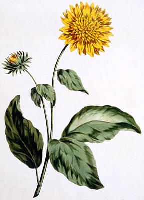 Stalk Painting - Sunflower by John Edwards