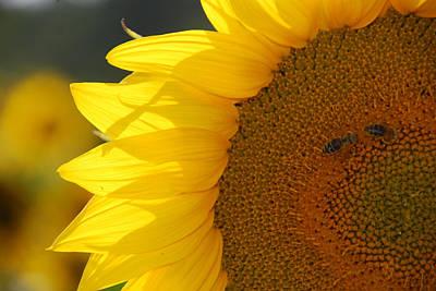 Photograph - Sunflower Joy by Ankya Klay
