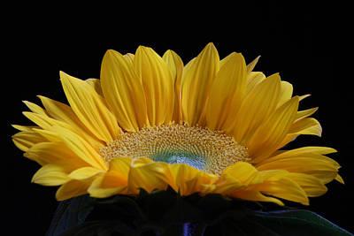 Purple Sensation Photograph - Sunflower by Juergen Roth