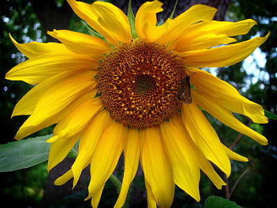 Photograph - Sunflower by Kara  Stewart