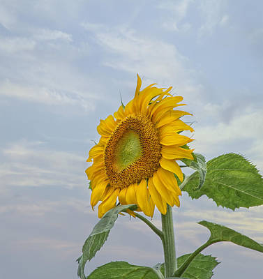Sunflower Art Print by Kim Hojnacki
