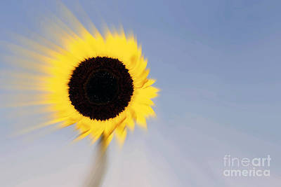Sunflower Light Rays In The Wind  Art Print