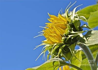 Art Print featuring the photograph Sunflower by Linda Bianic