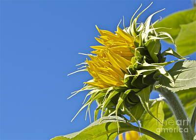 Sunflower Art Print by Linda Bianic