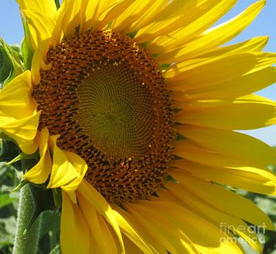 Sunflower Art Print by Lne Kirkes