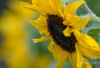 Photograph - Sunflower Looking Down by Cheryl Baxter