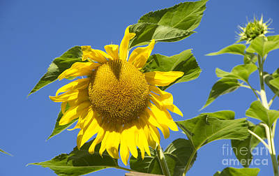 Photograph - Sunflower by Louise Magno