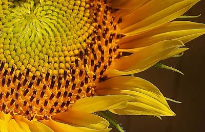 Photograph - Sunflower Macro by Bruce Bley