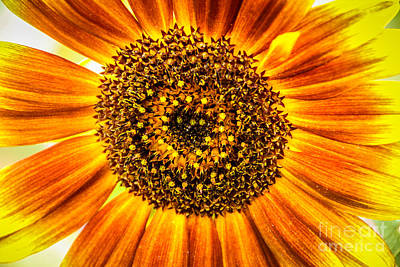 Photograph - Sunflower Macro by Grace Grogan